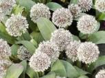 Blauzungenlauch - Allium karataviense