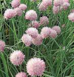 Schnittlauch Forescate - Allium schoenoprasum - Vorschau