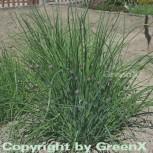 Schnittlauch - Allium schoenoprasum - Vorschau