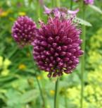 Zierlauch purpurviolett - Allium sphaerocephalon - Vorschau