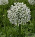 Zierlauch White Giant - Allium stipitatum