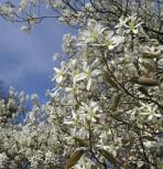 Erlenblättrige Felsenbirne Regent 40-60cm - Amelanchier alnifolia - Vorschau