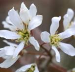 Erlenblättrige Felsenbirne 100-125cm - Amelanchier alnifolia