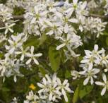 Felsenbirne Snowflakes 40-60cm - Amelanchier laevis