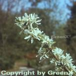 Echte Felsenbirne 40-60cm - Amelanchier rotundifolia