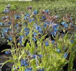Ochsenzunge Dropmore - Anchusa azurea - Vorschau