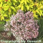 Lavendelheide Nikko - Andromeda polifolia - Vorschau