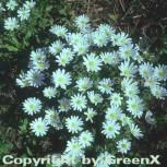 Balkanwindröschen White Splendour - Anemone blanda - Vorschau