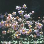 Japanische Herbstanemone Septembercharm - Anemone hupehensis - Vorschau