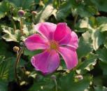 Anemone Rosenschale - Anemone japonica