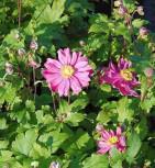 Windröschen Rubra - Anemone multifida