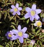 Buschwindröschen Caerulea - Anemone nemorosa