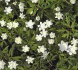Buschwindröschen Vestal - Anemone nemorosa - Vorschau