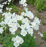 Großes Windröschen - Anemone sylvestris - Vorschau