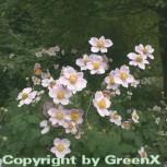Albadura Anemone Robustissima - Anemone tomentosa - Vorschau