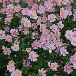 Albadura Anemone Serenade - Anemone tomentosa - Vorschau