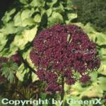 Rote Engelwurz - Angelica gigas
