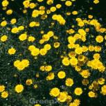 Färberkamille Kelwayi - Anthemis tinctoria