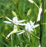 Ästige Graslilie - Anthericum ramosum