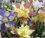 Akelei McKana Farbmischung - Aquilegia caerulea