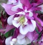 Akelei Rose Queen - Aquilegia caerulea
