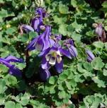 Zwergakelei Spring Magic Blau-Weiß - Aquilegia flabellata