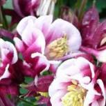Garten-Akelei Winky Rot-Weiß - Aquilegia vularis - Vorschau