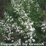Gänsekresse Plena - Arabis caucasica
