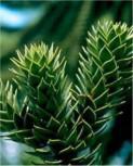 Chilenische Schmucktanne Andentanne 30-40cm - Araucaria araucana