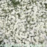 Sandkraut - großer Topf - Arenaria montana