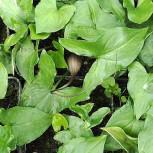 Mäusepflanze Mäusepflanze - Arisarum proboscideum