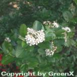 Apfelbeere 100-125cm - Aronia melanocarpa - Vorschau