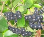 Apfelbeere Nero 80-100cm - Aronia melanocarpa
