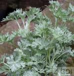 Wermut Lambrook Silver - Artemisia absinthium - Vorschau