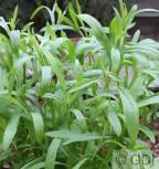 Deutscher Estragon Franse Dragon - Artemisia dracunculus - Vorschau
