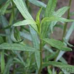 Deutscher Estragon French Terregon - Artemisia dracunculus