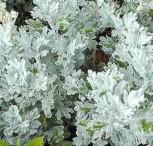 Gabelblatt Boughton Silver - Artemisia stelleriana - Vorschau