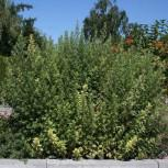 Beifuß Oriental Limelight - Artemisia vulgaris