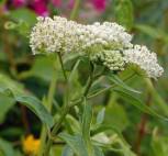 Seidenpflanze - Asclepias incarnata - Vorschau