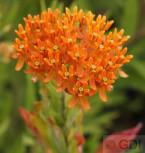 Seidenpflanze Orange - Asclepias incarnata