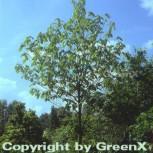 Indianerbanane Sunnflower 125-150cm - Asimina triloba