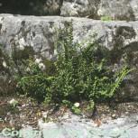 Braunstieliger Streifenfarn - Asplenium trichomanes