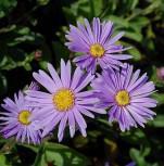 Sommeraster Blütendecke - Aster amellus - Vorschau
