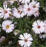 Myrtenaster Schneetanne - Aster ericoides - Vorschau