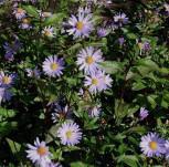 Herbstwild Aster Calliope - Aster laevis - Vorschau
