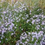 Herbstwild Aster Novemberblau - Aster laevis