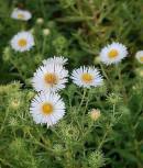 Rauhblattaster Herbstschnee - Aster novae angliae - Vorschau
