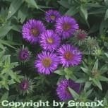 Rauhblattaster Purple Dome - Aster novae angliae - Vorschau