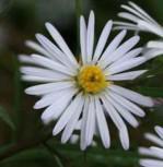 Glattblattaster White Lady - Aster novi belgii - Vorschau