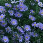 Glattblattaster Blaue Nachhut - Aster novi belgii - Vorschau